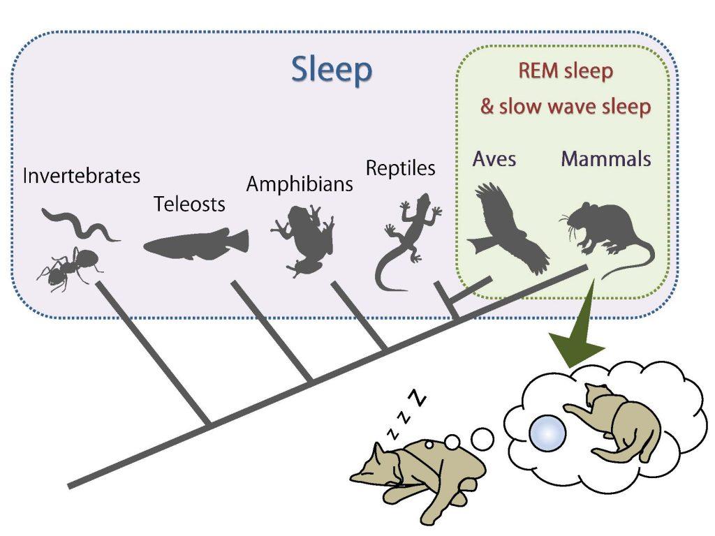 ( Sleep in Animals - Image Courtesy of hayashi.wpi-iiis.tsukuba.ac.jp )
