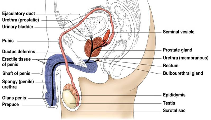 ( Male Reproductive Organs - Image Courtesy of www.austincc.edu )