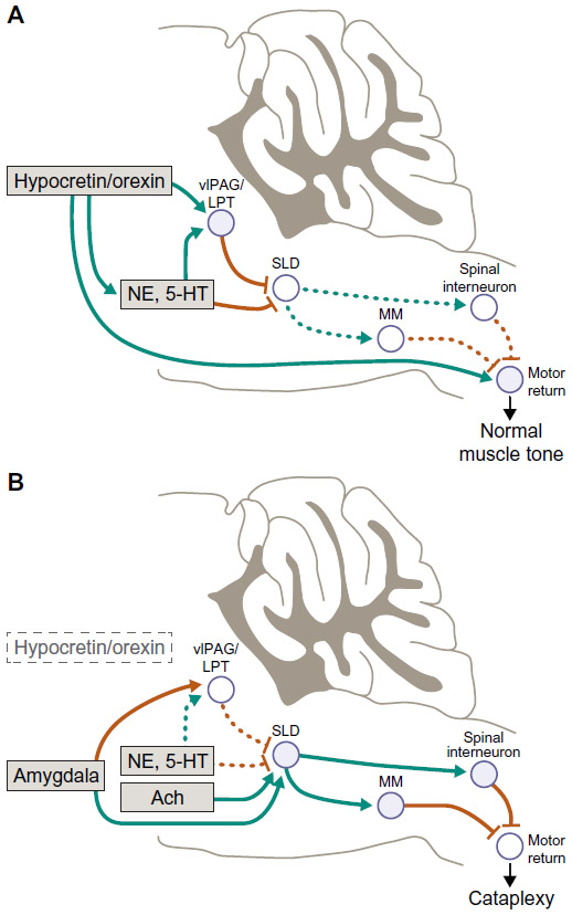 ( Hypocretin-Orexin and Cataplexy - Image Courtesy of www.dovepress.com )
