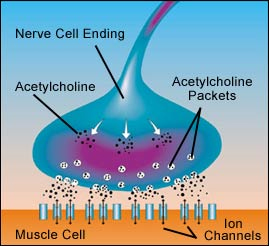 ( Acetylcholine and Muscle Paralysis - Image Courtesy of www.viresattached.com )
